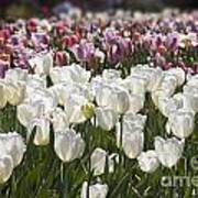 Tulips At Dallas Arboretum V52 Art Print
