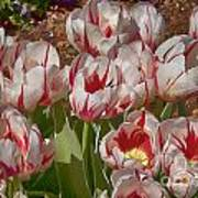 Tulips At Dallas Arboretum V53 Art Print