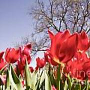 Tulips At Dallas Arboretum V62 Art Print