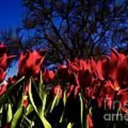 Tulips At Dallas Arboretum V63 Art Print