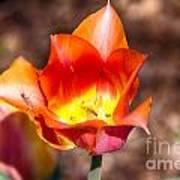 Tulips At Dallas Arboretum V64 Art Print