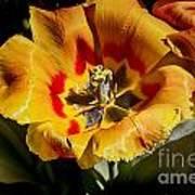 Tulips At Dallas Arboretum V67 Art Print