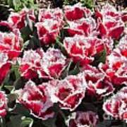 Tulips At Dallas Arboretum V70 Art Print