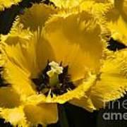 Tulips At Dallas Arboretum V76 Art Print