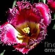 Tulips At Dallas Arboretum V77 Art Print