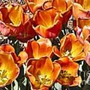 Tulips At Dallas Arboretum V80 Art Print