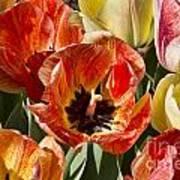 Tulips At Dallas Arboretum V81 Art Print