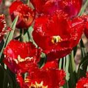 Tulips At Dallas Arboretum V83 Art Print