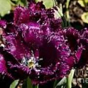 Tulips At Dallas Arboretum V85 Art Print