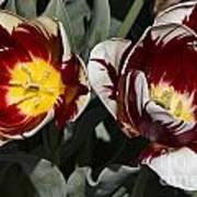 Tulips At Dallas Arboretum V92 Art Print