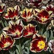 Tulips At Dallas Arboretum V93 Art Print