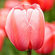 Tulips At Thanksgiving Point - 19 Art Print