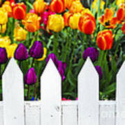 Tulips Behind White Fence Art Print by Elena Elisseeva