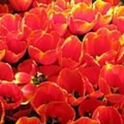Tulips - Field With Love 28 Art Print