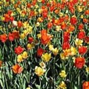 Tulips - Field With Love 50 Art Print