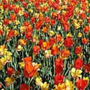 Tulips - Field With Love 51 Art Print