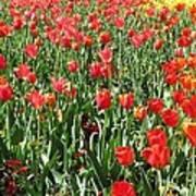 Tulips - Field With Love 61 Art Print