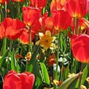 Tulips - Field With Love 71 Art Print
