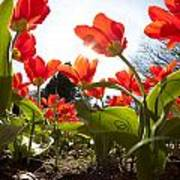 Tulips In Spring Art Print