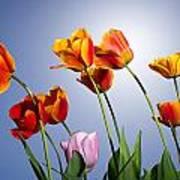 Tulips In Sun Light Art Print