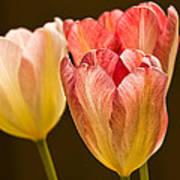 Tulips In The Light Art Print