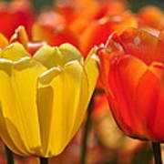 Tulips In The Midst Art Print