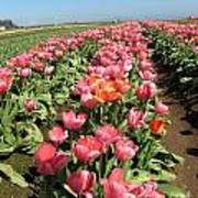 Tulips Mt Hood Art Print