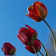 Tulips On Blue Art Print
