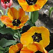 Tulips Tp Art Print