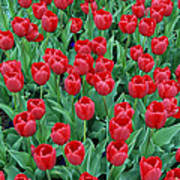 Tulips Tulips And Tulips Art Print