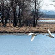 Tundra Swan Flight Art Print
