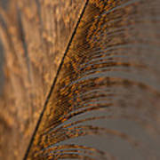 Turkey Feather Art Print