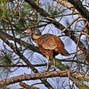 Turkey In A Tree Art Print by Al Powell Photography USA