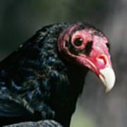 Turkey Vulture Cathartes Aura South Art Print