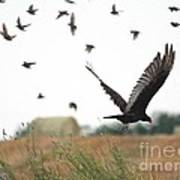 Turkey Vulture Takes Flight Art Print