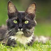 Turkish Angora Cat Art Print