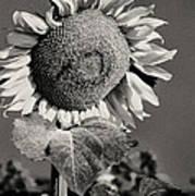 Turkish Sunflower 3 Art Print