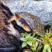 Turtle 1 Art Print