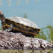 Turtle At The Lake Art Print