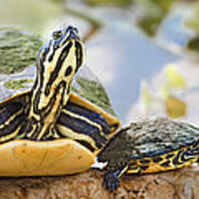 Turtle Family Art Print