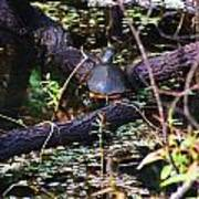 Turtle In The Glades Art Print