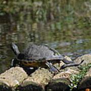 Turtle On A Raft Art Print