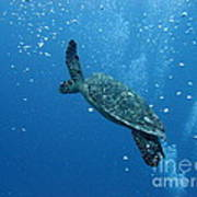 Turtle With Divers' Bubbles Art Print by Alan Clifford