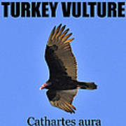 Turkey Vulture Educational Art Print