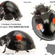 Twice-stabbed Lady Beetle Art Print