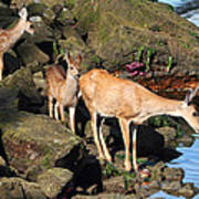 Twin Fawns And Mother Deer On The Shore Art Print
