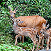 Twin Fawns And Mother Deer Art Print