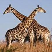 Twin Giraffes Art Print
