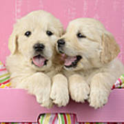 Twin White Labs In Pink Basket Art Print by Greg Cuddiford