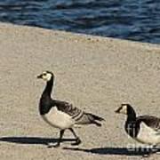 Two Barnacle Geese Art Print